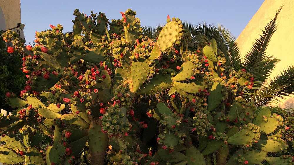 susak-kaktus-blueten