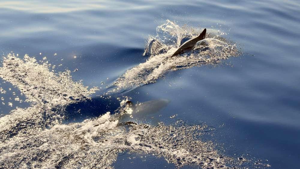 delfine-spielen-am-bug