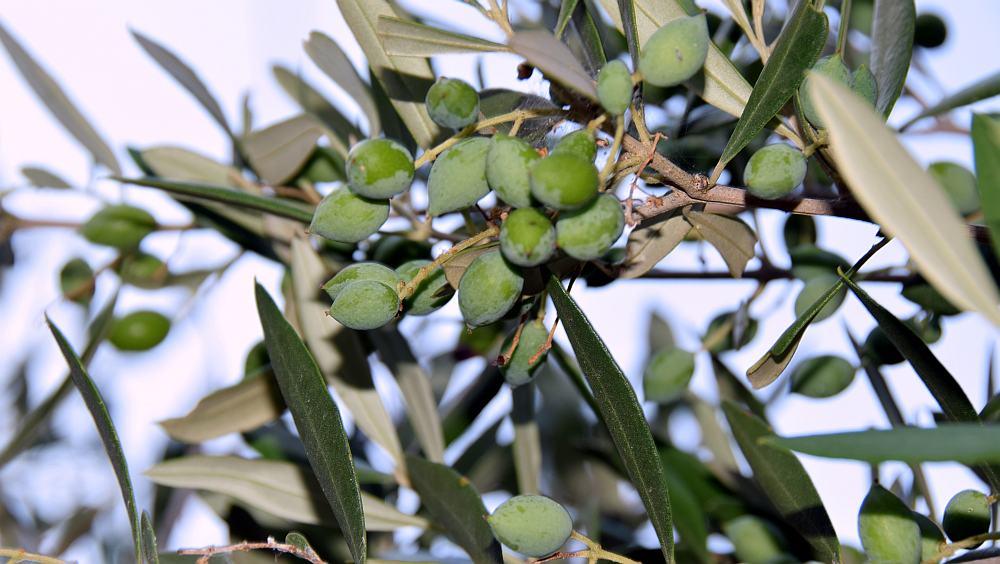 porto-kagio-oliven