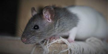 Ratte an Bord einer Segelyacht
